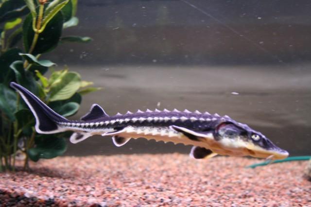 نرخ بچه ماهی خاویاری از نوع فیل ماهی