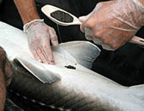 صادرات ماهی خاویار بلوگا به روسیه