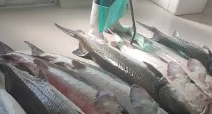 خرید و فروش ماهی خاویاری