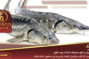 خرید ماهی خاویاری اوزون برون