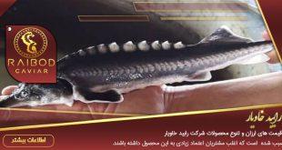 قیمت ماهی اوزون برون زنده