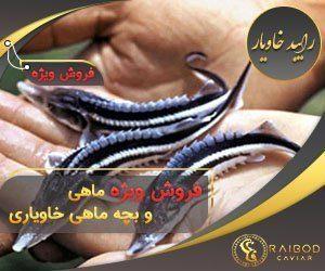 فروش ماهی خاویار - بچه ماهی خاویار - رایبد خاویار