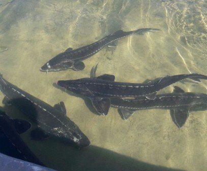ماهی خاویاری برای صادرات
