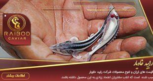 بچه ماهی خاویار برای پرورش