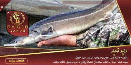 قیمت ماهی خاویار