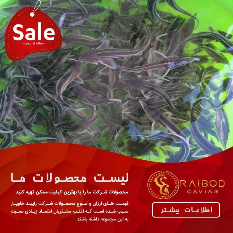 تولید بچه ماهی خاویار در گیلان با بهترین کیفیت