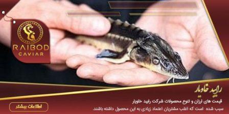 بچه ماهی خاویاری بلوگا