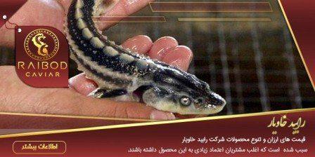 بچه ماهی خاویار زنده