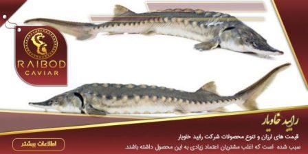 عرضه ماهی خاویار