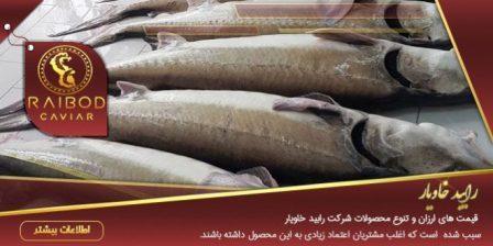 خرید فیل ماهی در بازار ماهی