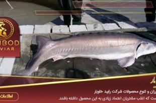 خریدار ماهی خاویار ایرانی