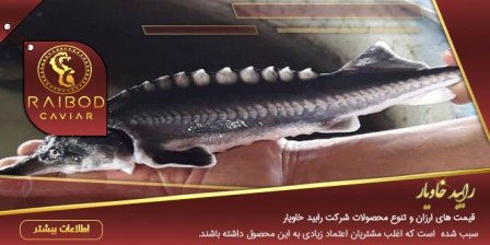 ارزان ترین قیمت بچه ماهی خاویار