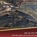 پرورش ماهی خاویار در تبریز