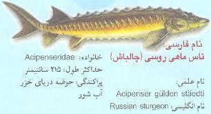 انواع تاس ماهی دریای خزر(قره برون. چالباش. شیب)